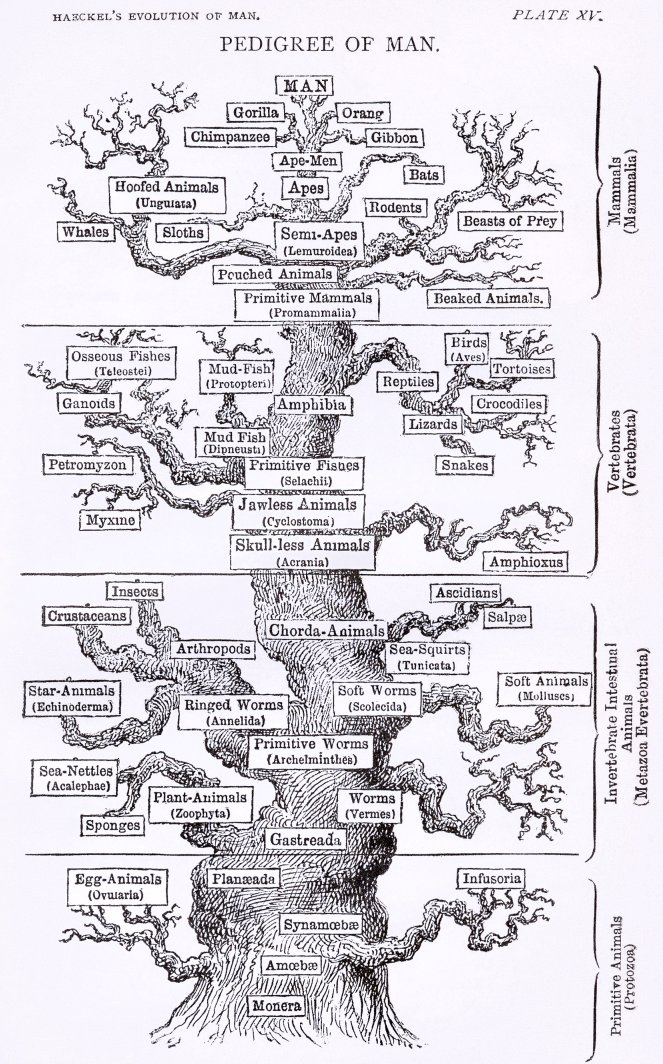 Tree_of_life_by_Haeckel_cleanup_red.jpg