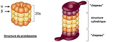 Structure protéasome.png