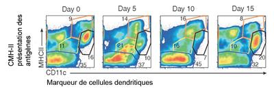 C_dendritiques1.PNG