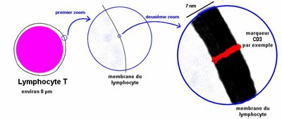 marqueur_lympho.png