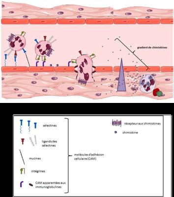 Recrutement des leucocytes