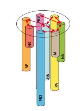 interprétation de l'organisation d'une particule RPV