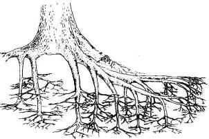 II-1-systèmes-racinaires1.jpg