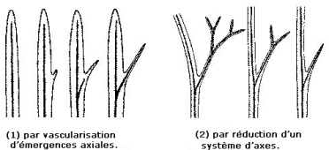 Ic origine microphylle1.jpg