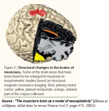Structural changes in the brains of musicians