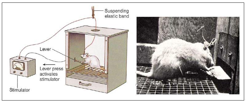 Expérience de Olds & Milner, 1954