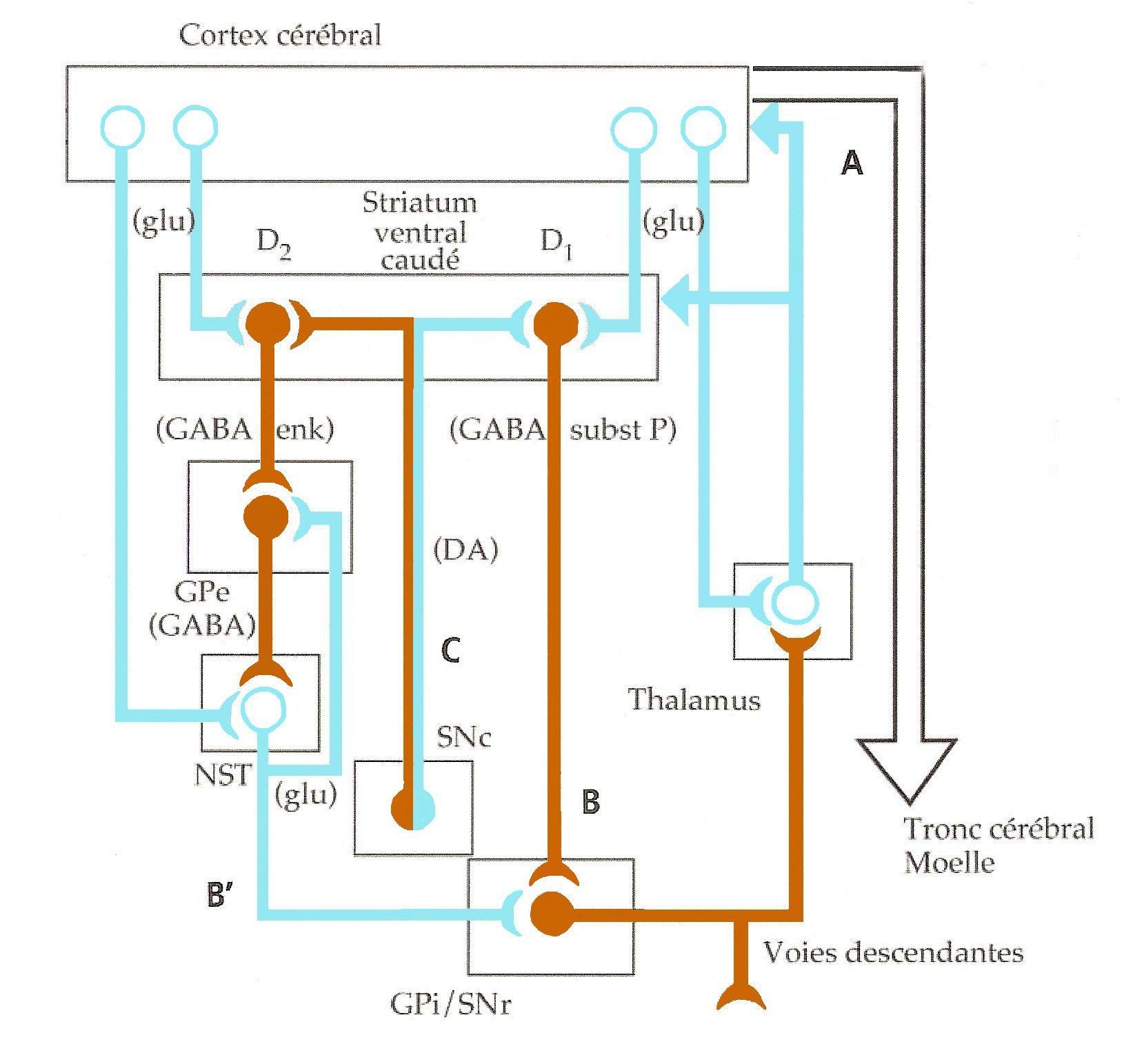 circuit motricité ganglions de la base