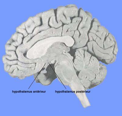 Localisation de l' hypothalamus antérieur et postérieur