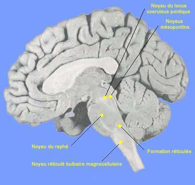 Localisation des noyaux du système du tronc cérébral