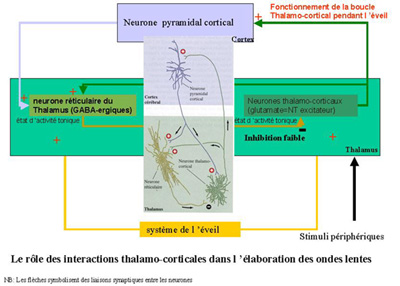 Fonctionnement de la boucle réticulo-thalamique pendant l'éveil