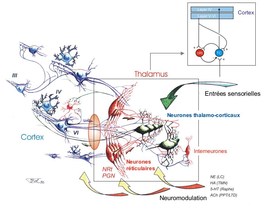 Le système réticulo-thalamique