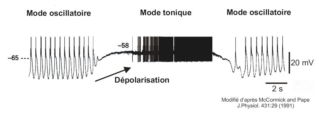 Modes de fonctionnement des neurones thalamo-corticaux