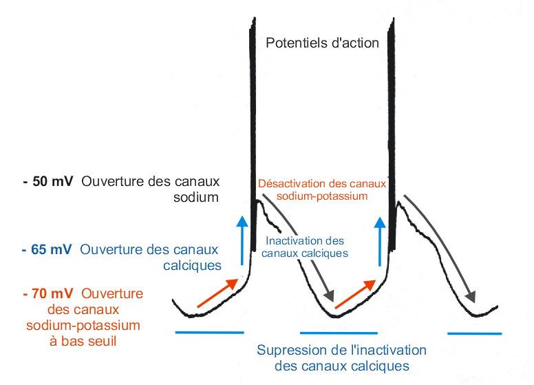 Formation des Potentiels d'action en mode oscillatoire