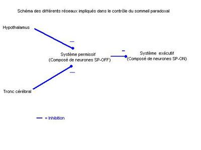 Schéma des différents réseaux impliqués dans le sommeil paradoxal