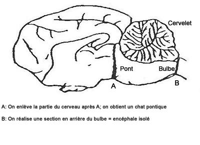 """Localisation des sections réalisées pour obtenir un """"chat pontique"""" (section en A) ou un encéphale isolé (section en B)"""