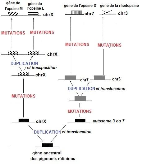 schéma origine pigments rétiniens