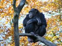 chimpanzé commun