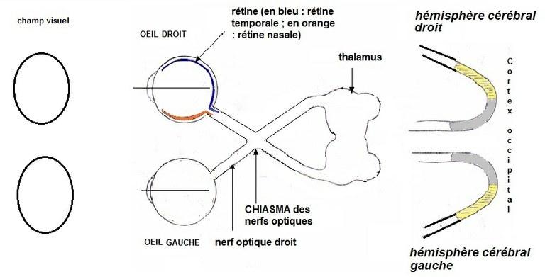 schema_voies_visuelles.jpg