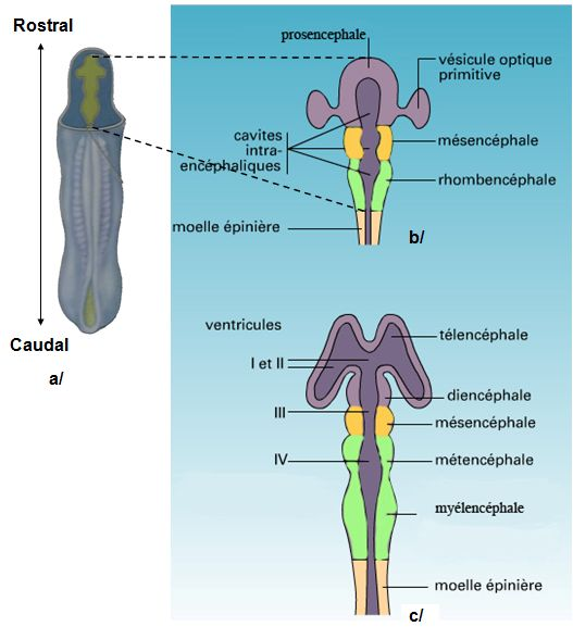 du tube neural au stade 3 puis 5 vésicules encéphaliques