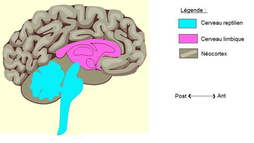 modèle cerveau tritunique