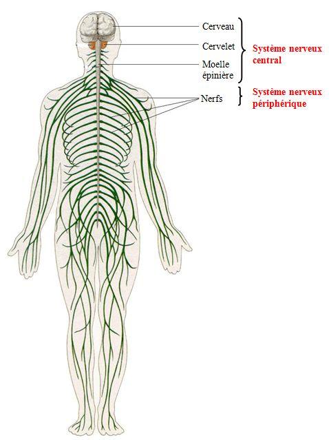 Système nerveux central, Système nerveux périphérique