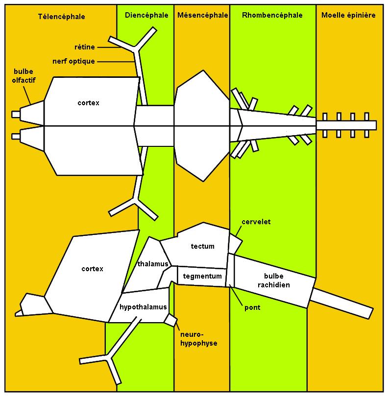 schéma descriptif du plan d'organisation de l'encéphale de vertébrés