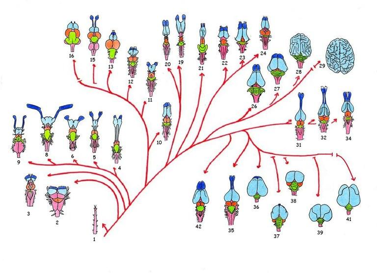 Arbre phylogénétique en vue dorsale