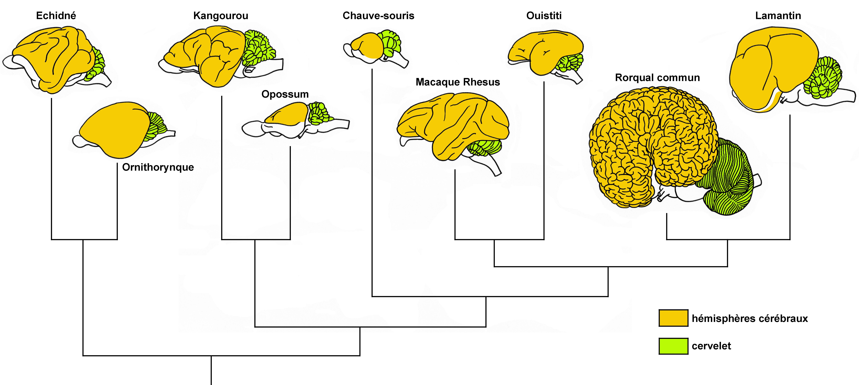 Schémas descriptifs d'encéphales d'espèces de mammifères et relations de parenté associées
