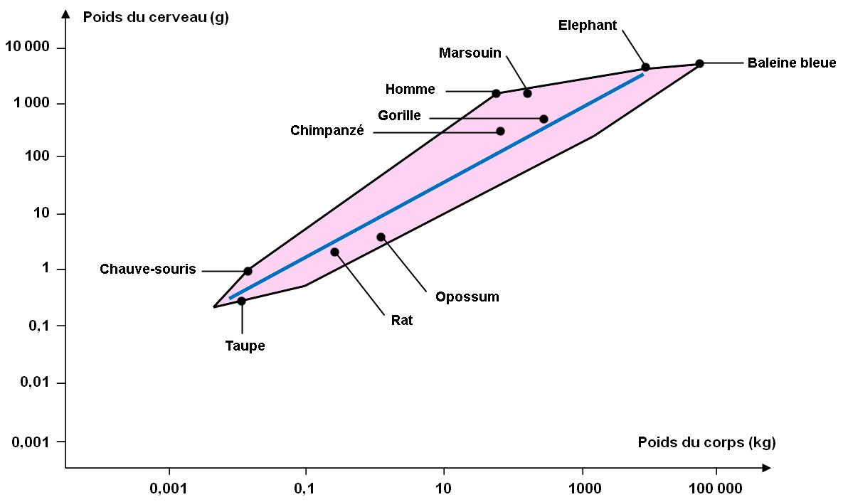 Comparaison du rapport entre la masse de l'encéphale et la masse du corps chez les mammifères