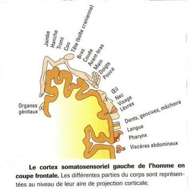document 4:cortex somatosensoriel