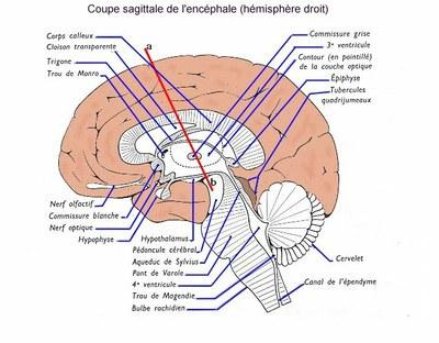 document 1: coupe sagittale de l'encéphale