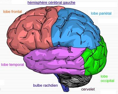 document 4a cartographie du cerveau vue latérale