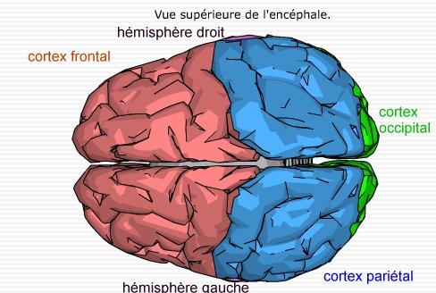 document 4b : cartographie du cerveau vue supérieure