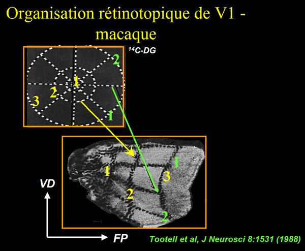 Rétinotopie macaque