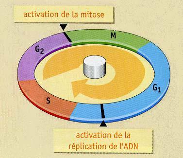les phases du cycle cellulaire pdf