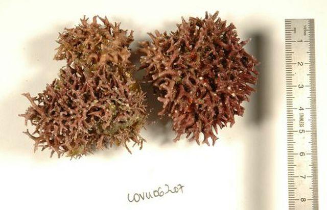Coralline CO-VU-06-207