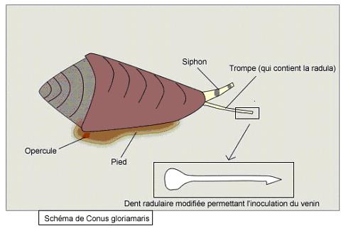 schéma Conus gloriamaris
