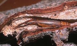 Une femelle de Matuanus cachée dans une branche creuse