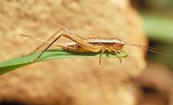 Proturana n. sp., une espèce diurne, vivant sur des herbes