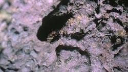 Grillon vivant dans les calcaires alvéolés en bord de mer