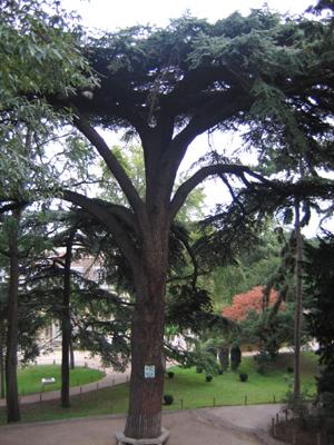 Cedre du Liban (copyright MNHN - tous droits réservés)