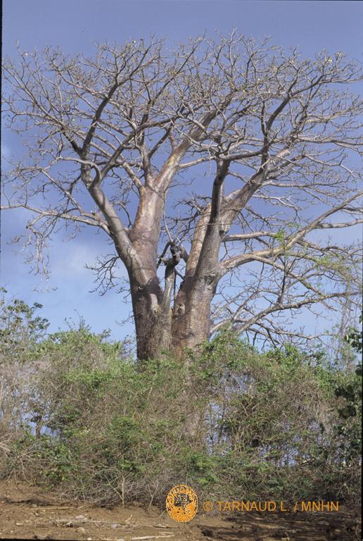 Adansonia (copyright MNHN)