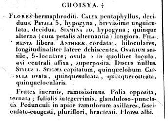 choisya1.jpg
